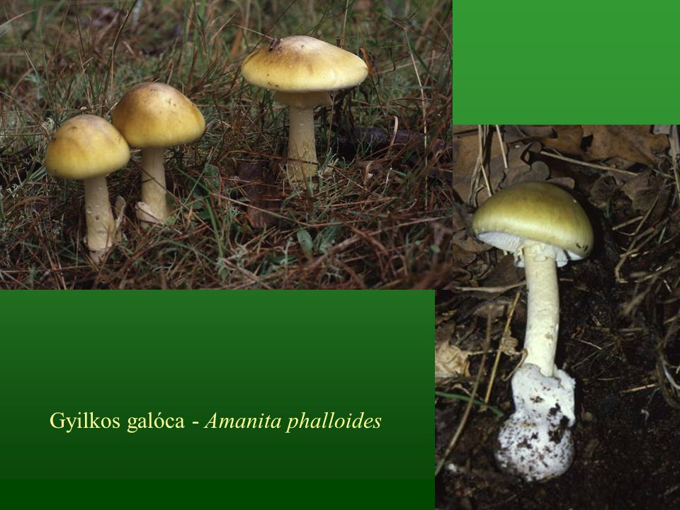 Gyilkos galóca - Amanita phalloides