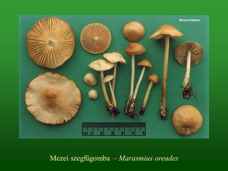 Mezei szegfűgomba – Marasmius oreades