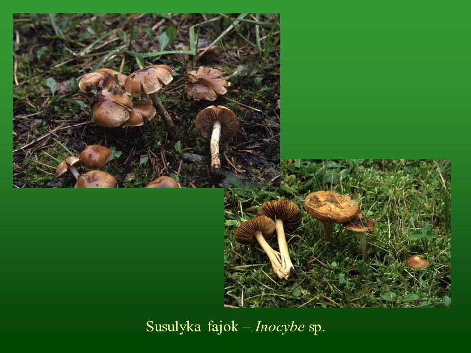 Susulyka fajok – Inocybe sp.