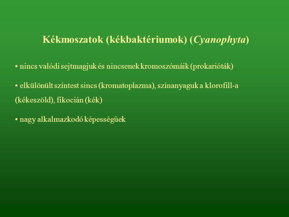 Kékmoszatok (kékbaktériumok) (Cyanophyta)