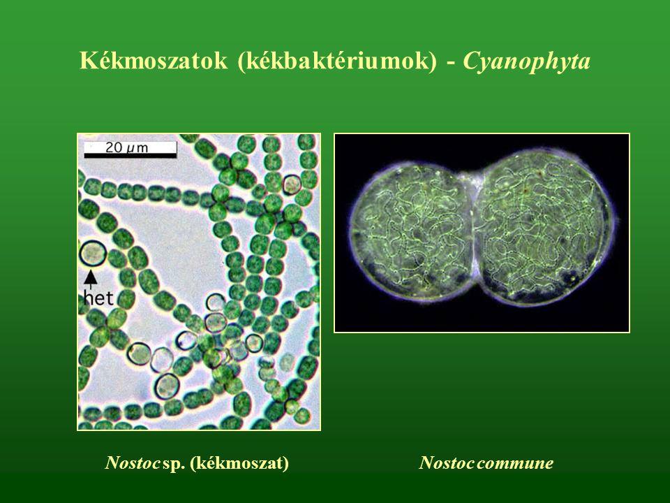 Kékmoszatok (kékbaktériumok) - Cyanophyta