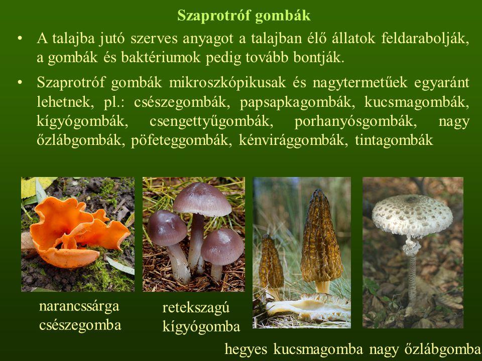 Szaprotróf gombák A talajba jutó szerves anyagot a talajban élő állatok feldarabolják, a gombák és baktériumok pedig tovább bontják.