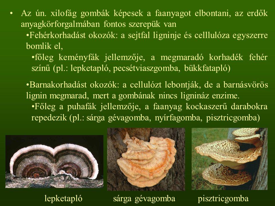 Az ún. xilofág gombák képesek a faanyagot elbontani, az erdők anyagkörforgalmában fontos szerepük van