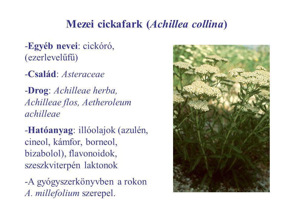 Mezei cickafark (Achillea collina)
