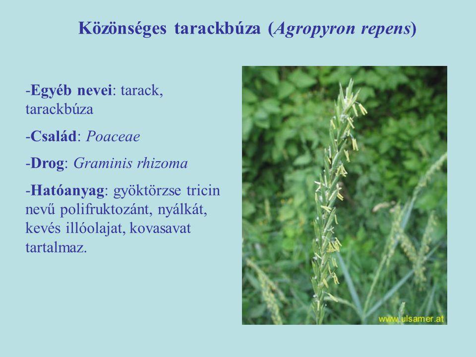Közönséges tarackbúza (Agropyron repens)