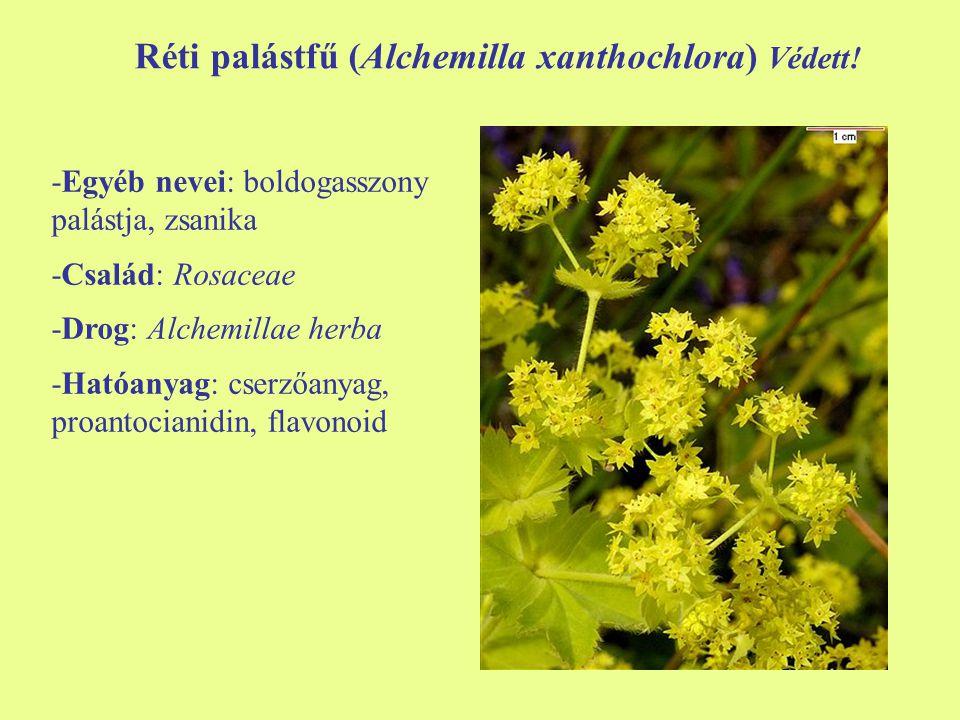 Réti palástfű (Alchemilla xanthochlora) Védett!