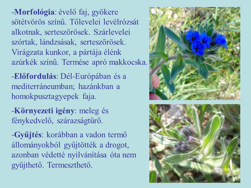 -Morfológia: évelő faj, gyökere sötétvörös színű