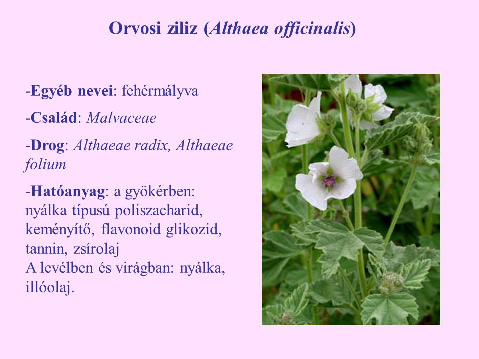 Orvosi ziliz (Althaea officinalis)