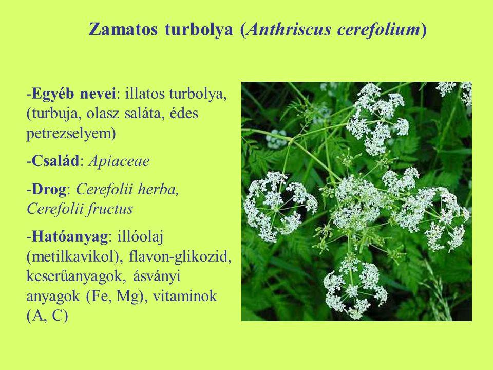 Zamatos turbolya (Anthriscus cerefolium)