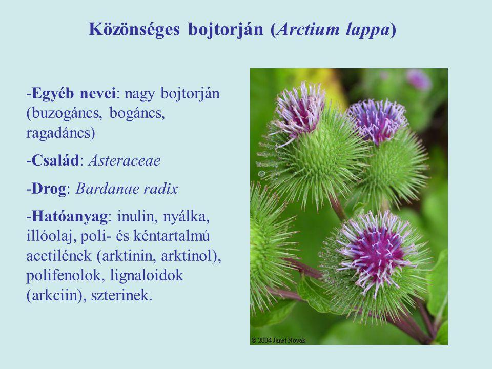 Közönséges bojtorján (Arctium lappa)