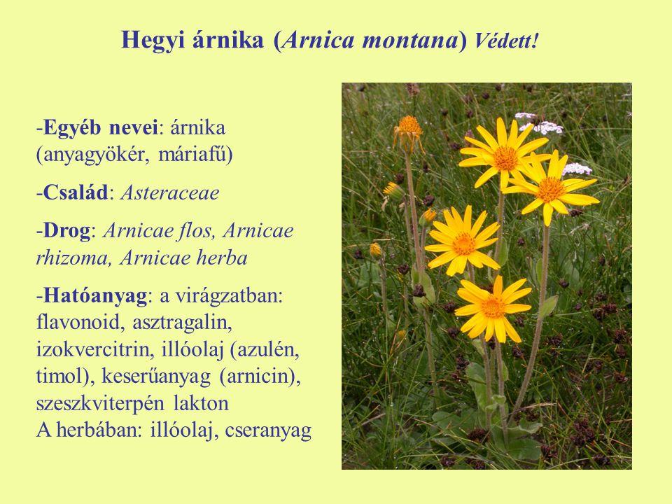 Hegyi árnika (Arnica montana) Védett!