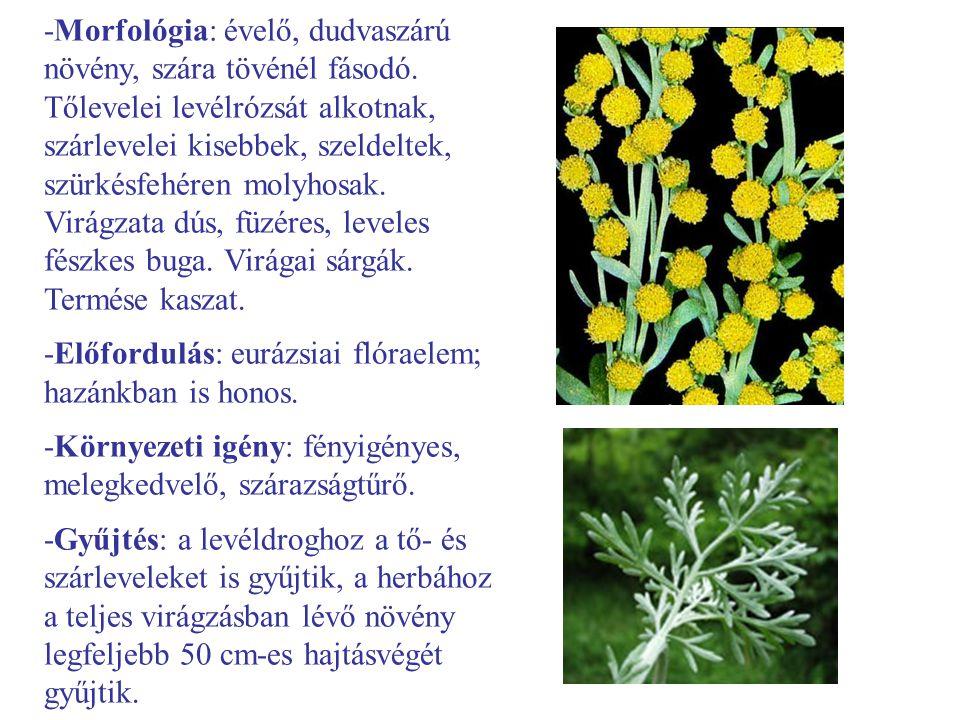 -Morfológia: évelő, dudvaszárú növény, szára tövénél fásodó