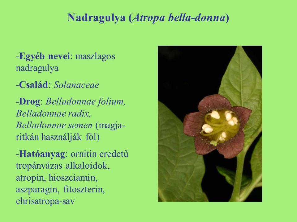 Nadragulya (Atropa bella-donna)