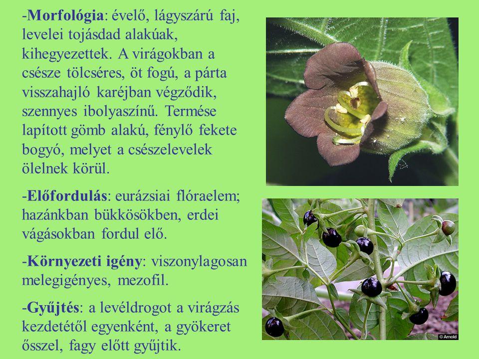 -Morfológia: évelő, lágyszárú faj, levelei tojásdad alakúak, kihegyezettek. A virágokban a csésze tölcséres, öt fogú, a párta visszahajló karéjban végződik, szennyes ibolyaszínű. Termése lapított gömb alakú, fénylő fekete bogyó, melyet a csészelevelek ölelnek körül.