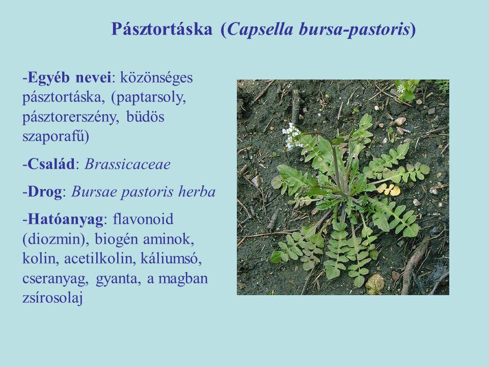 Pásztortáska (Capsella bursa-pastoris)