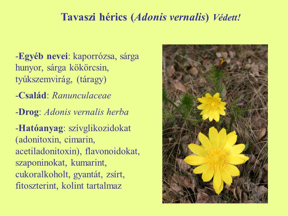 Tavaszi hérics (Adonis vernalis) Védett!