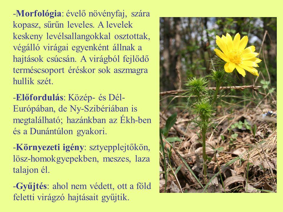 -Morfológia: évelő növényfaj, szára kopasz, sűrűn leveles