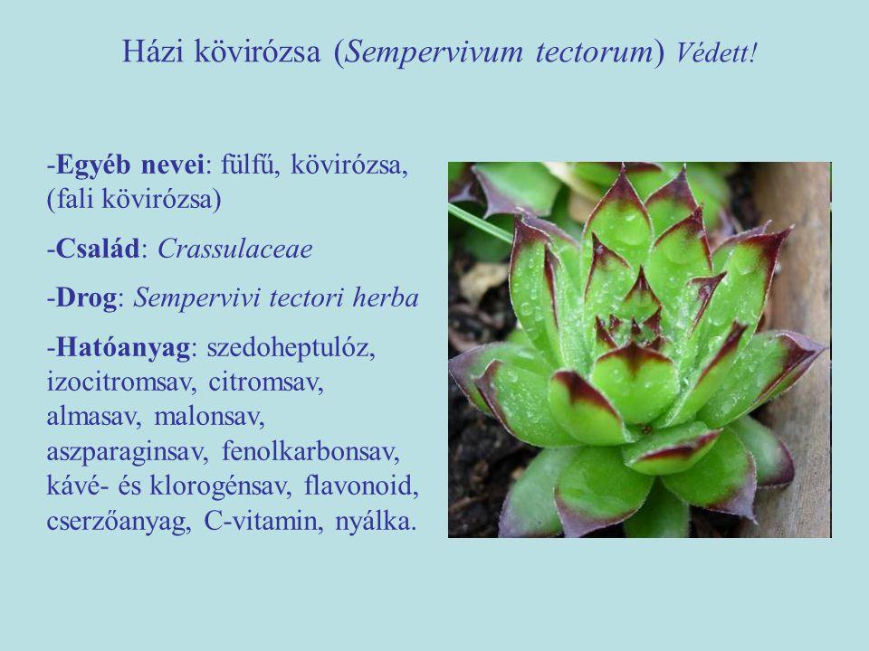 Házi kövirózsa (Sempervivum tectorum) Védett!