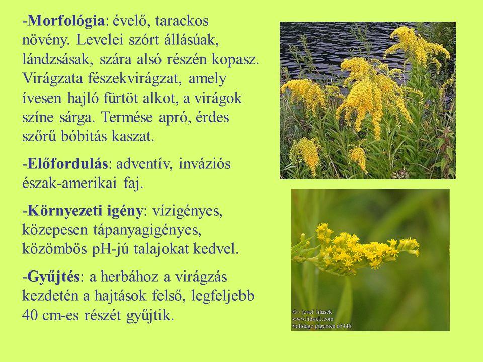-Morfológia: évelő, tarackos növény