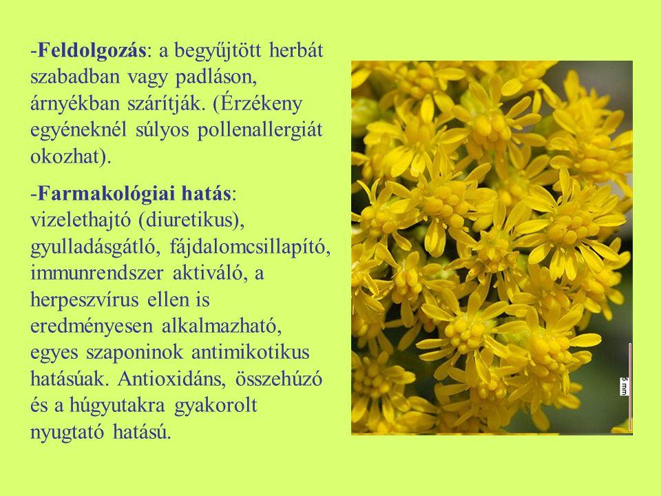 -Feldolgozás: a begyűjtött herbát szabadban vagy padláson, árnyékban szárítják. (Érzékeny egyéneknél súlyos pollenallergiát okozhat).