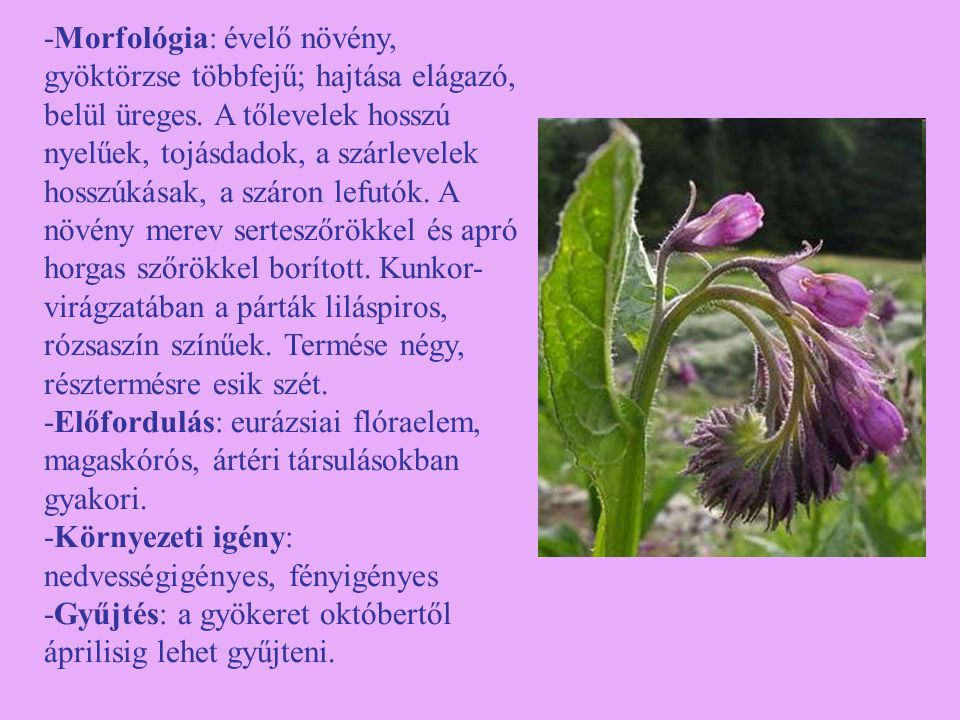 -Morfológia: évelő növény, gyöktörzse többfejű; hajtása elágazó, belül üreges. A tőlevelek hosszú nyelűek, tojásdadok, a szárlevelek hosszúkásak, a száron lefutók. A növény merev serteszőrökkel és apró horgas szőrökkel borított. Kunkor-virágzatában a párták liláspiros, rózsaszín színűek. Termése négy, résztermésre esik szét.