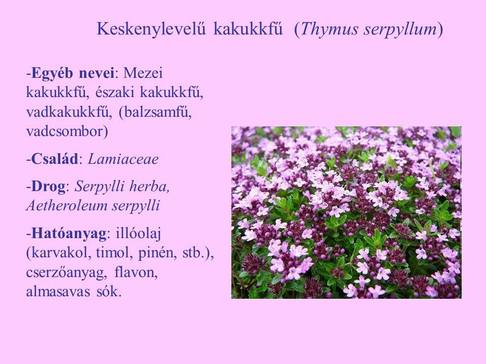Keskenylevelű kakukkfű (Thymus serpyllum)