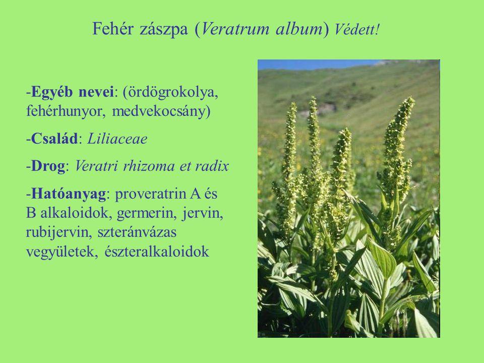 Fehér zászpa (Veratrum album) Védett!