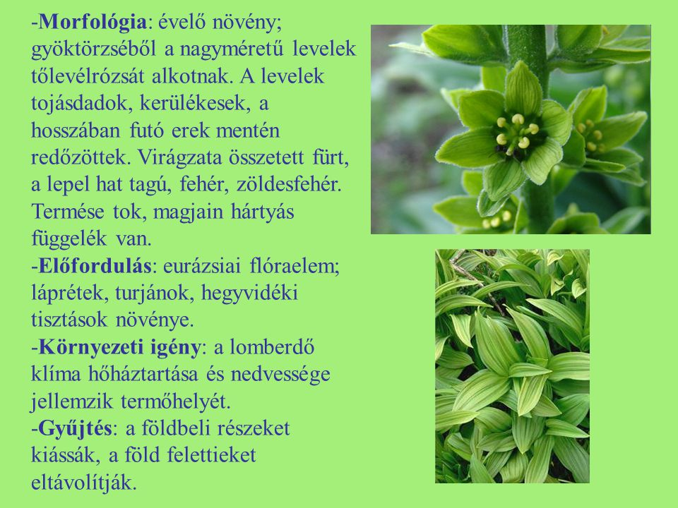 -Morfológia: évelő növény; gyöktörzséből a nagyméretű levelek tőlevélrózsát alkotnak. A levelek tojásdadok, kerülékesek, a hosszában futó erek mentén redőzöttek. Virágzata összetett fürt, a lepel hat tagú, fehér, zöldesfehér. Termése tok, magjain hártyás függelék van.