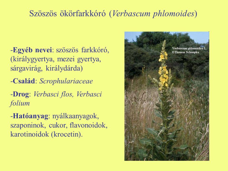 Szöszös ökörfarkkóró (Verbascum phlomoides)