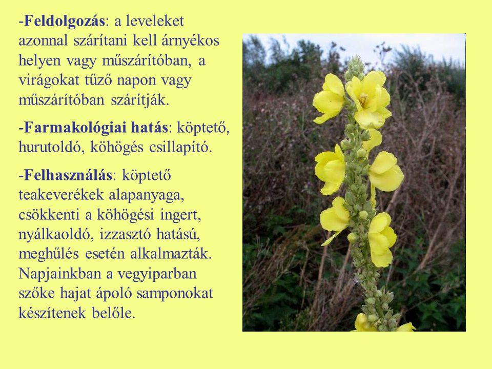 -Feldolgozás: a leveleket azonnal szárítani kell árnyékos helyen vagy műszárítóban, a virágokat tűző napon vagy műszárítóban szárítják.