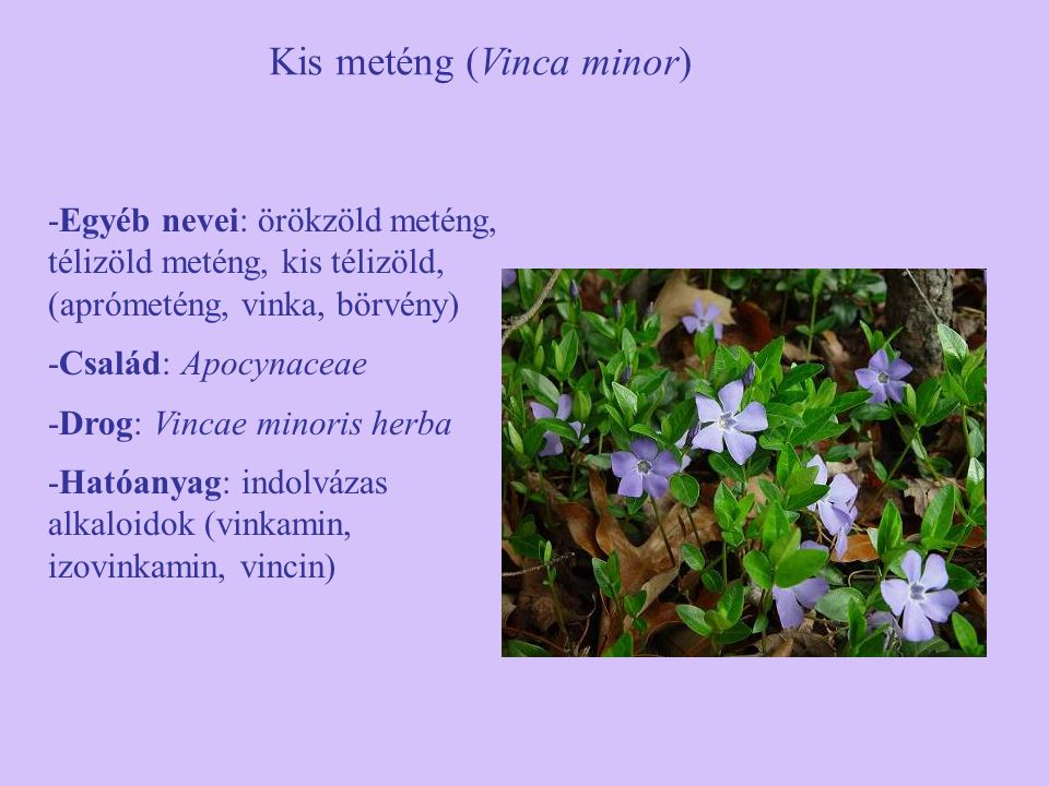 Kis meténg (Vinca minor)