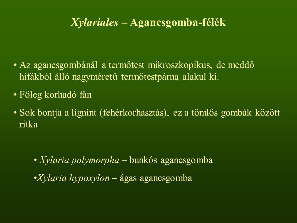 Xylariales – Agancsgomba-félék