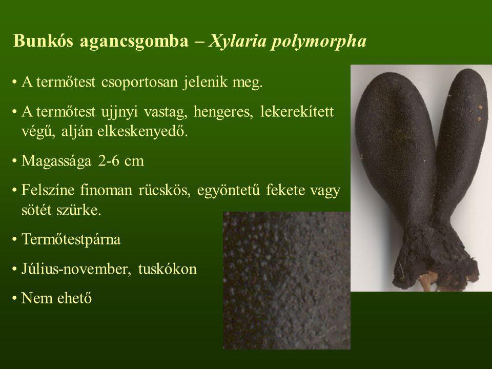Bunkós agancsgomba – Xylaria polymorpha