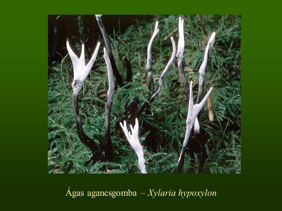 Ágas agancsgomba – Xylaria hypoxylon
