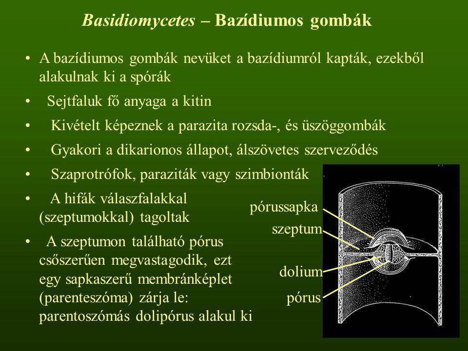 Basidiomycetes – Bazídiumos gombák