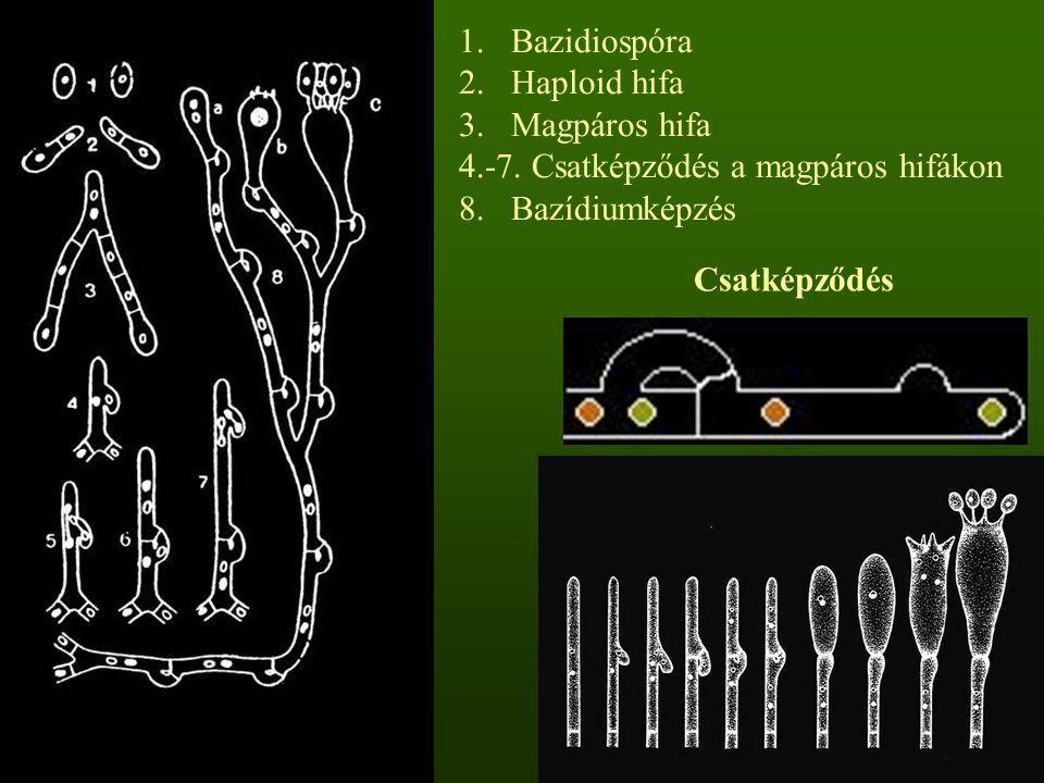 Bazidiospóra Haploid hifa. Magpáros hifa. 4.-7. Csatképződés a magpáros hifákon. 8. Bazídiumképzés.