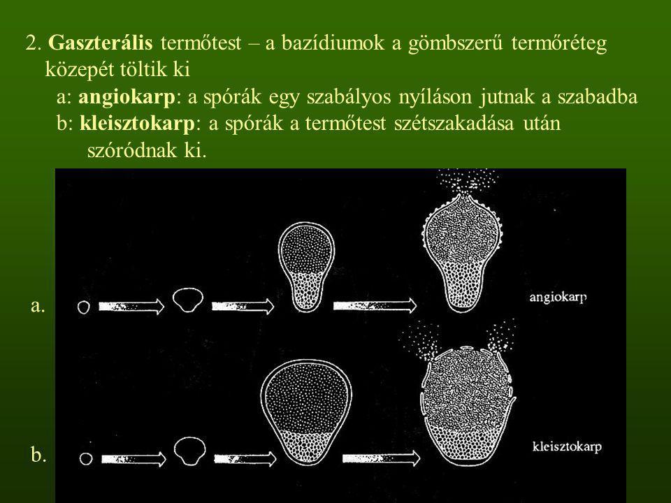 2. Gaszterális termőtest – a bazídiumok a gömbszerű termőréteg közepét töltik ki