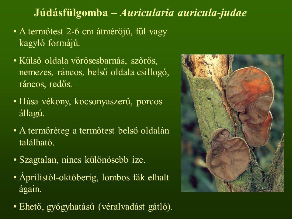 Júdásfülgomba – Auricularia auricula-judae
