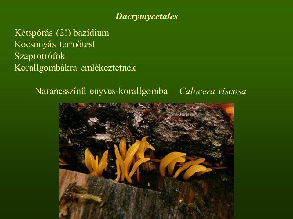 Dacrymycetales