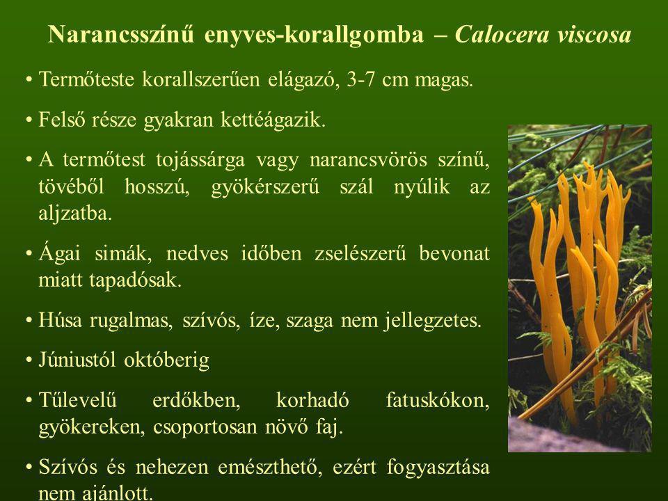 Narancsszínű enyves-korallgomba – Calocera viscosa