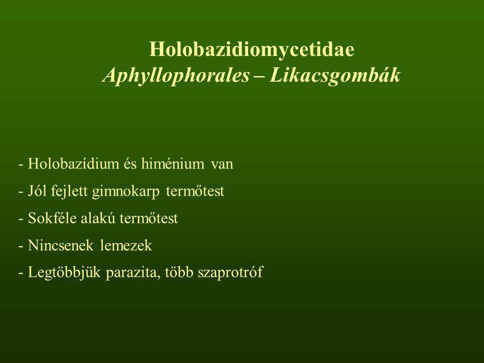 Holobazidiomycetidae Aphyllophorales – Likacsgombák