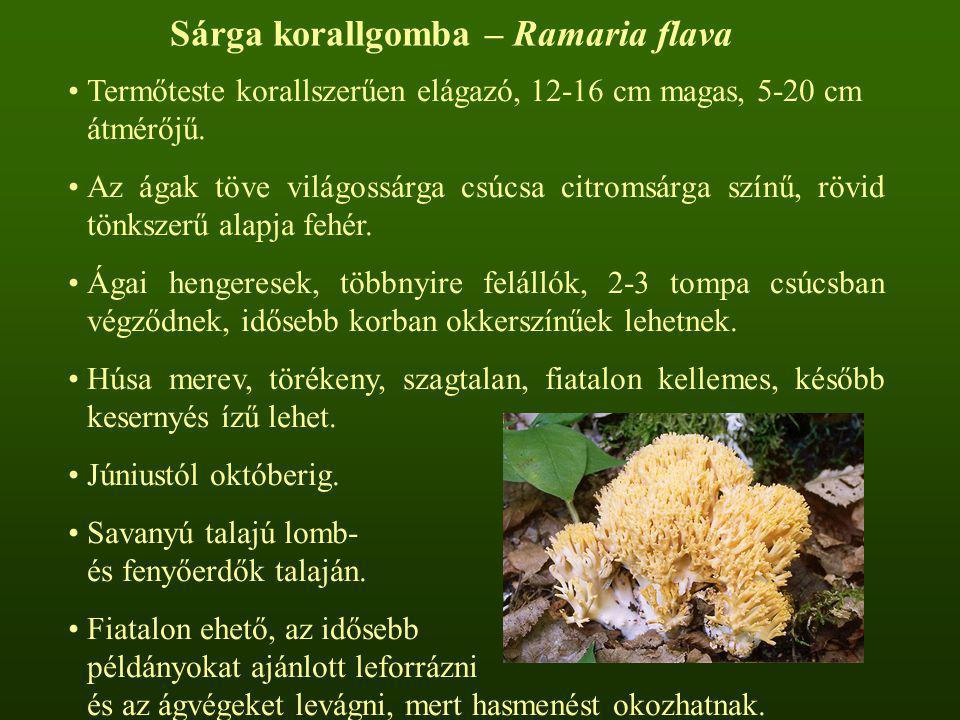 Sárga korallgomba – Ramaria flava
