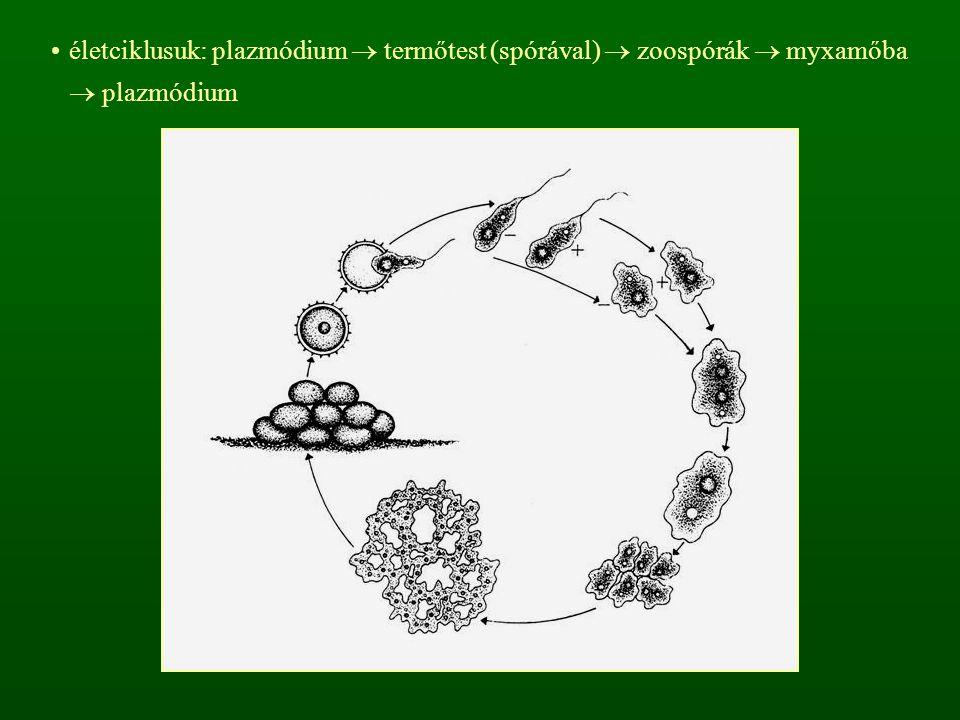 életciklusuk: plazmódium  termőtest (spórával)  zoospórák  myxamőba  plazmódium