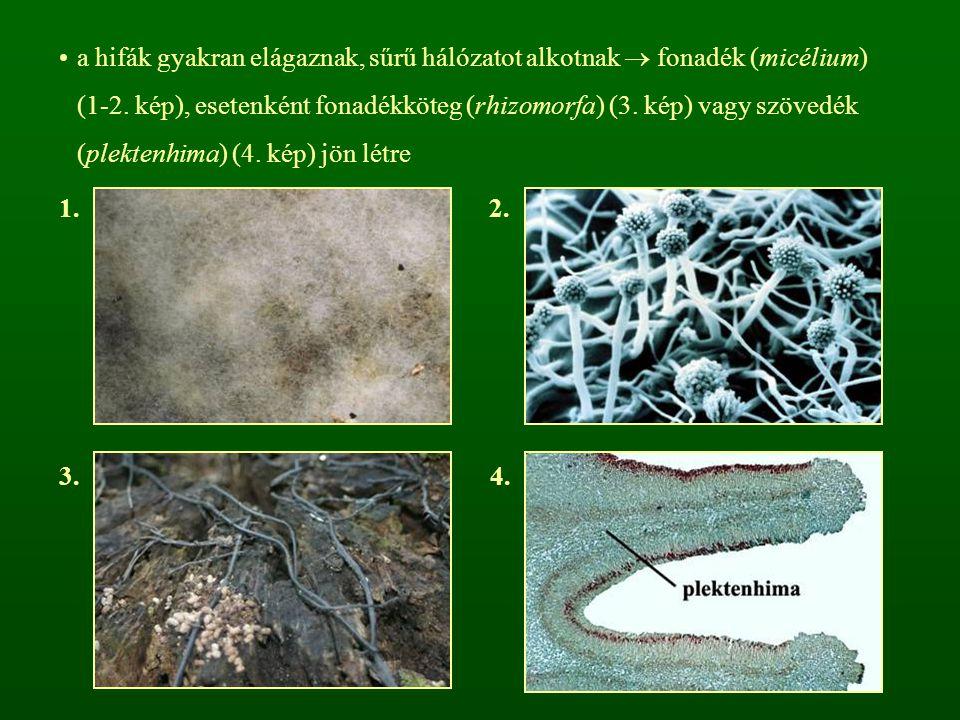 a hifák gyakran elágaznak, sűrű hálózatot alkotnak  fonadék (micélium) (1-2. kép), esetenként fonadékköteg (rhizomorfa) (3. kép) vagy szövedék (plektenhima) (4. kép) jön létre