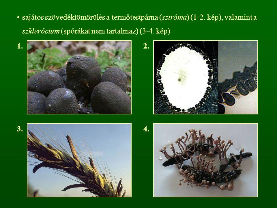 sajátos szövedéktömörülés a termőtestpárna (sztróma) (1-2