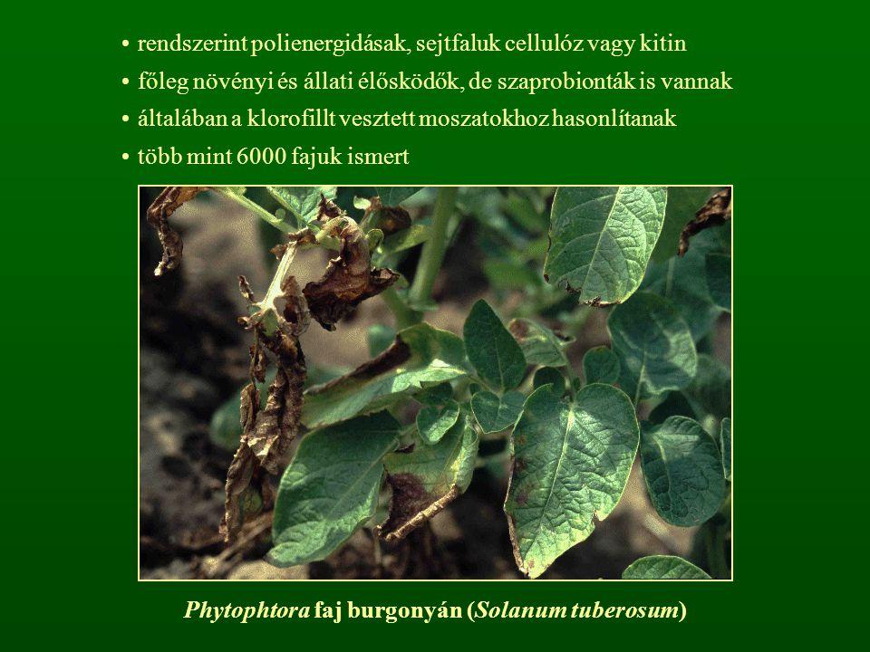 Phytophtora faj burgonyán (Solanum tuberosum)