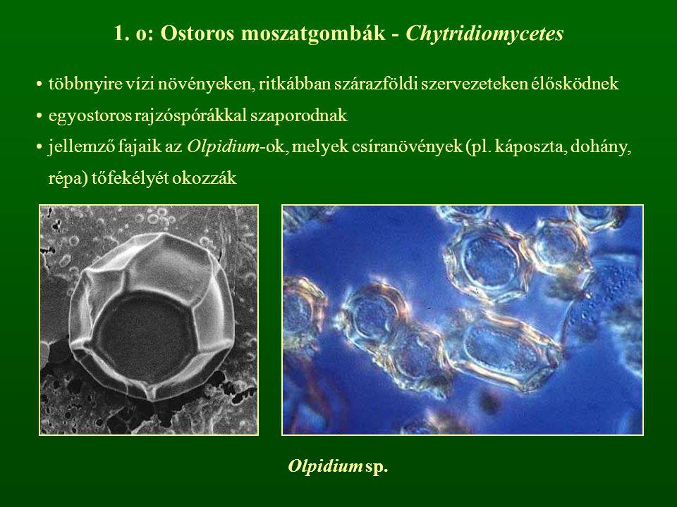 1. o: Ostoros moszatgombák - Chytridiomycetes