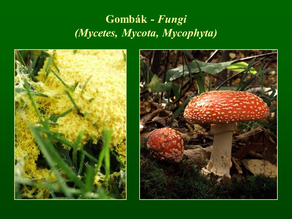 (Mycetes, Mycota, Mycophyta)