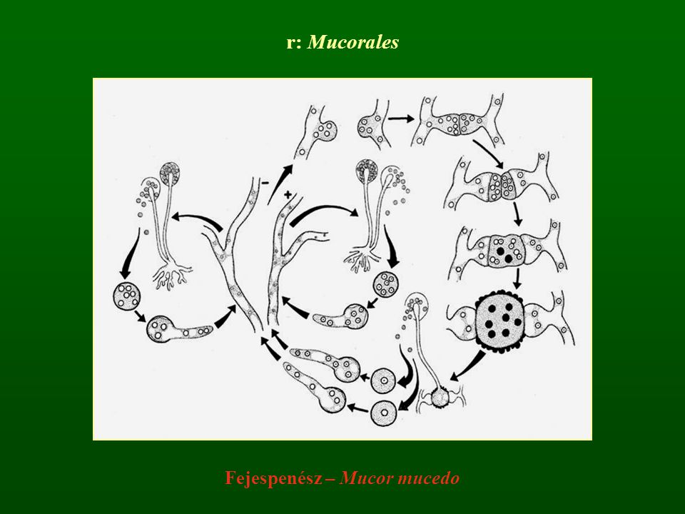 Fejespenész – Mucor mucedo