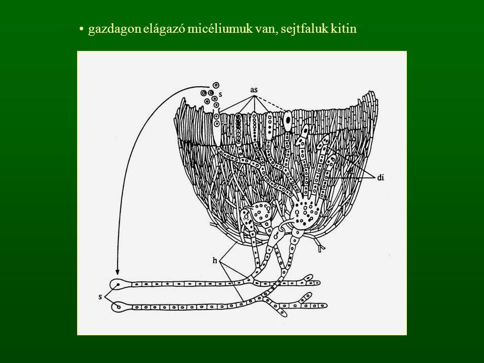 gazdagon elágazó micéliumuk van, sejtfaluk kitin